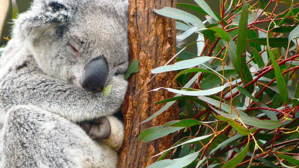 How Long Koala sleeps in a day?