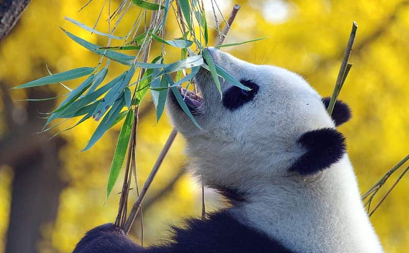 Is Panda's are vegetarian?