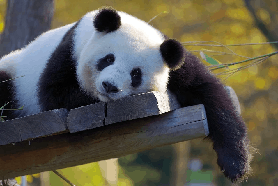 What are the interesting facts of Panda?