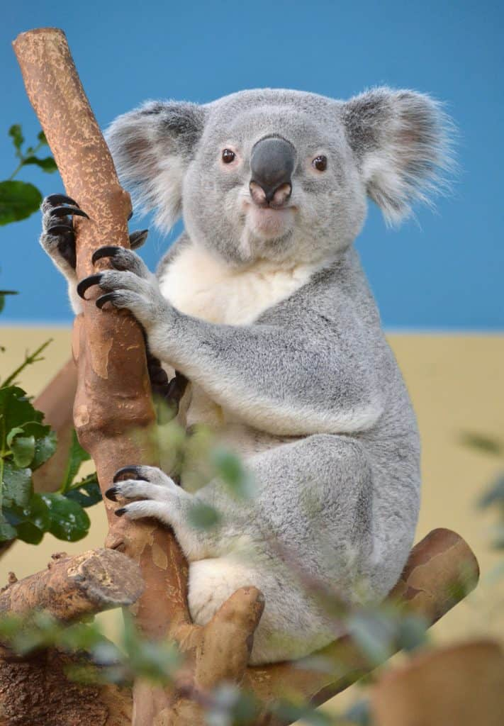 What are the interesting facts on Koala?