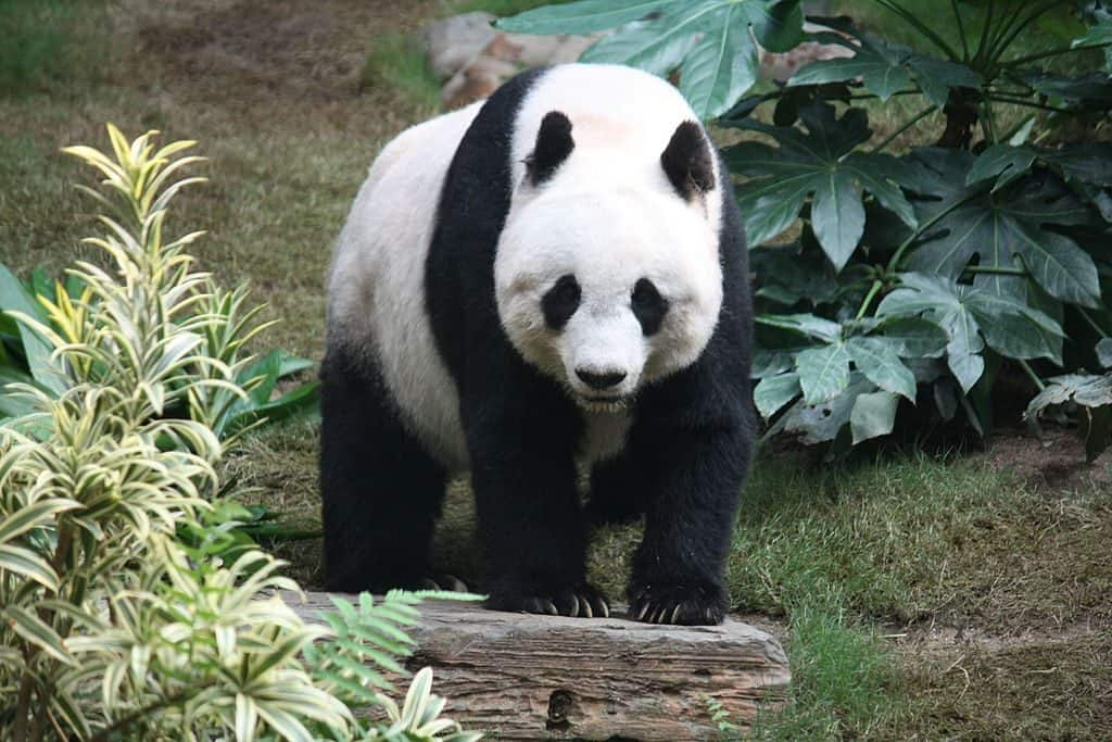 What is the weight of the panda?