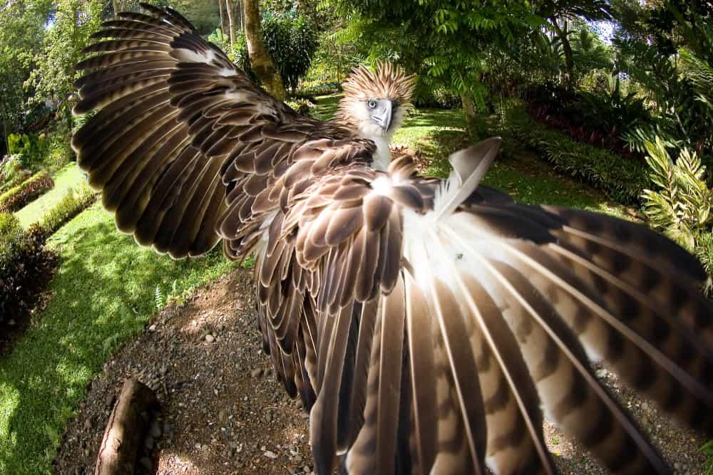 philippine eagle size