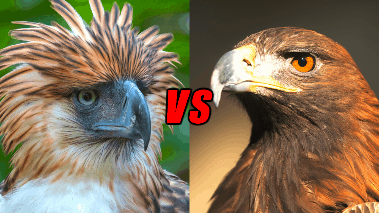 Philippine Eagle VS Golden Eagle - Who Is The Most Powerful Eagle?