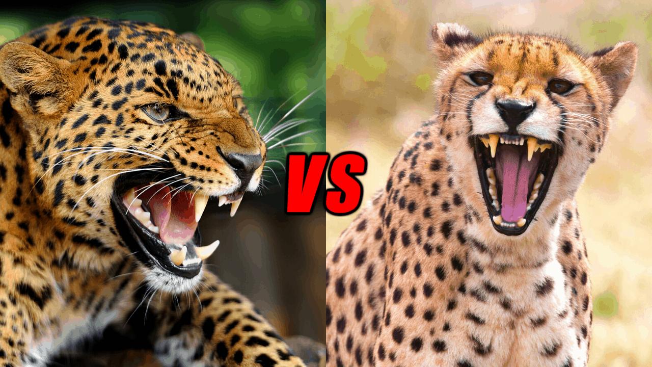 Leopard Vs Cheetah, Who Would Win? - Animals Comparison