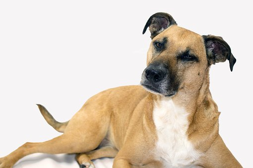 Black Mouth Cur APPEARANCE
