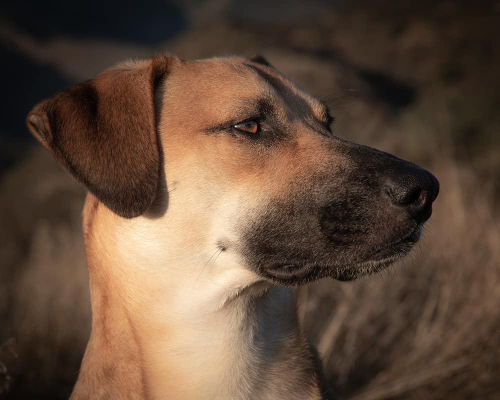 Black Mouth Cur HEALTH ISSUES