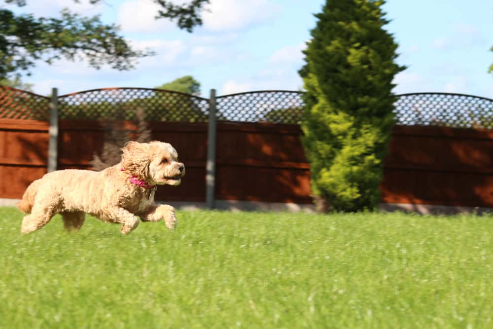 CAVAPOO EXERCISE