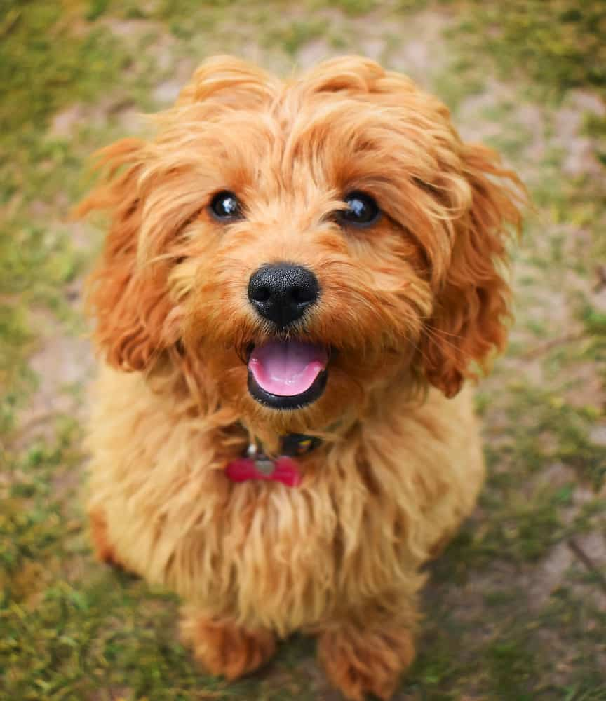 CAVAPOO TRAINABILITY