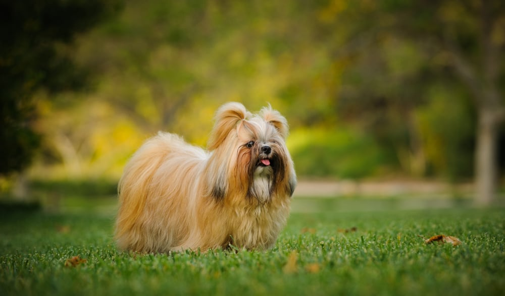 SHIH TZU GOOD WITH FAMILY