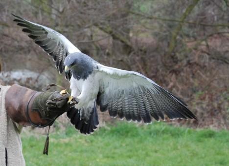 Eagle landing on human