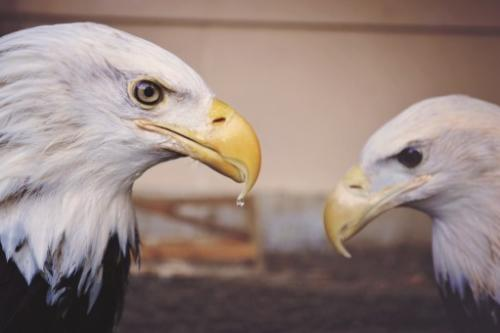 Eagle vs eagle wallaper