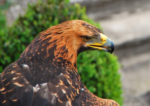 Golden eagle wallaper hd