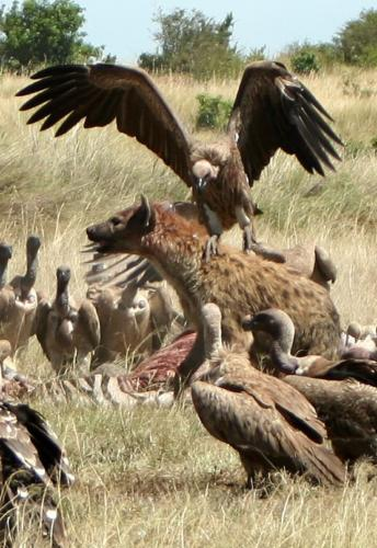 Hyena vs Vulture fight