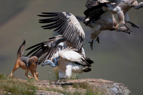 vulture vs jackal fighting