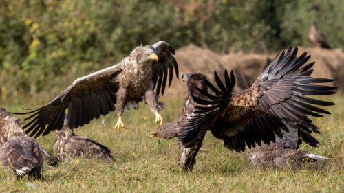 vulture vs vulture feast