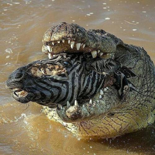 Crocodile killing a zebra and feeding on it
