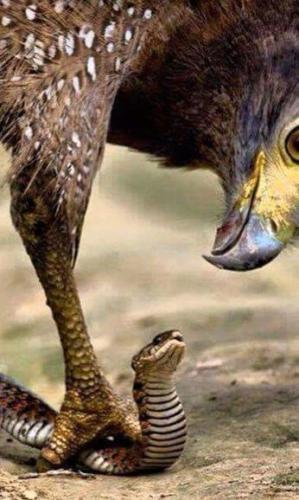 Eagle suffocating a snake
