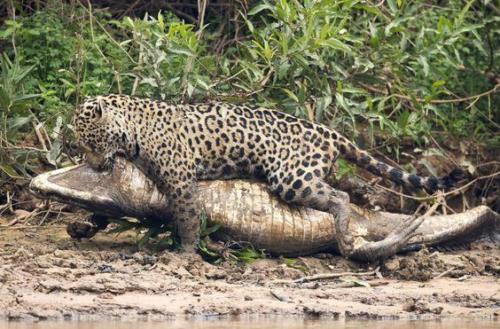 Jaguar vs caiman fight to death