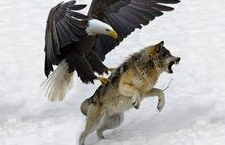 Eagle vs Gray Wolf