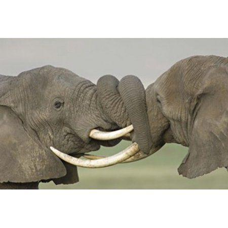 Elephant fighting with each other