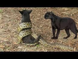 anaconda killing a dog