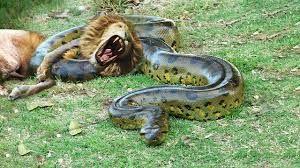 anaconda lion