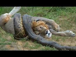 anaconda lion fight