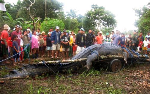 biggest ever caught crocodile