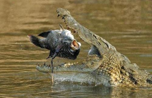 crocodile about to eat a fish