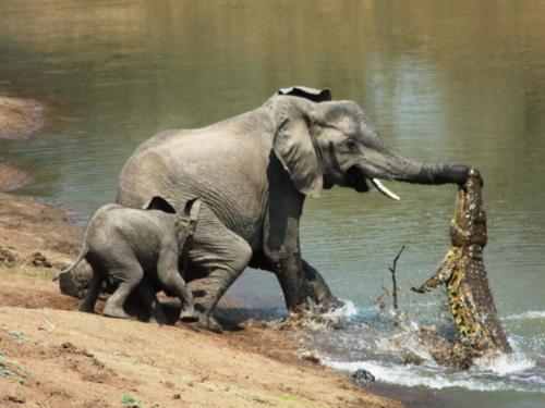 crocodile attacking an elephant