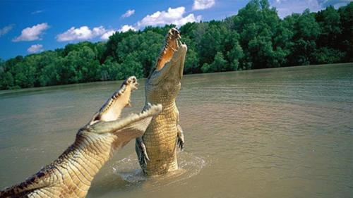 crocodile captured standing straight