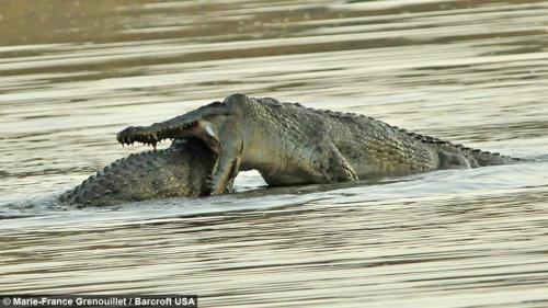 crocodile fighting aggressively