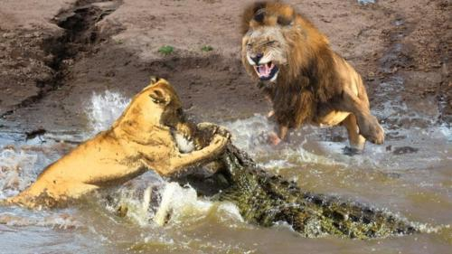 crocodile fighting with lions