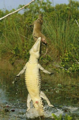 crocodile jumped to capture a mongoose