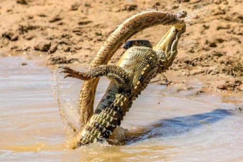 crocodile killing a deadly snake