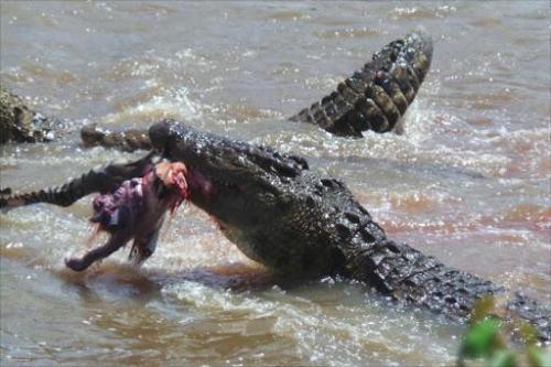 crocodile killing a human being