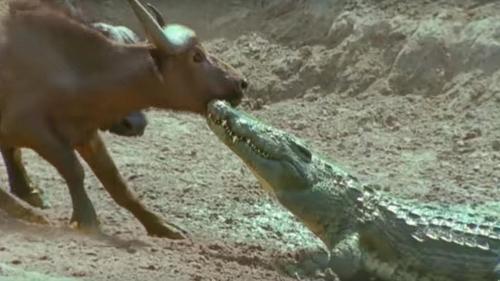 crocodile vs buffalo fight