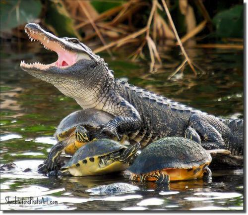 crocodile with tortoises