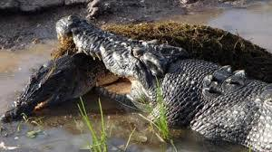 crocodiles fighting to death