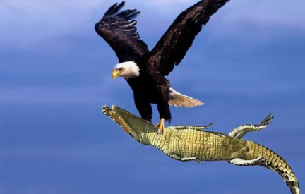 eagle vs Crocodile