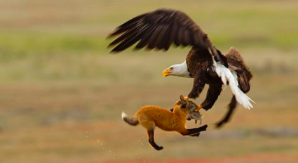 eagle vs jackal