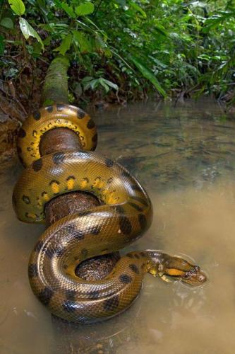 green anaconda- biggest snake seen ever