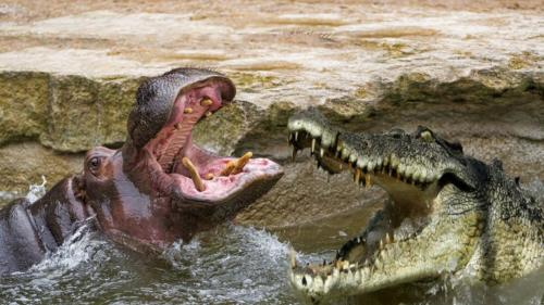 hippo vs crocodile fight