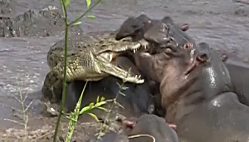 hippos attacking crocodile
