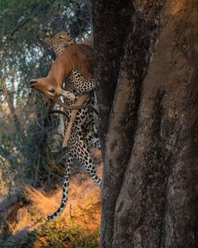 jaguar climbing tree with deer