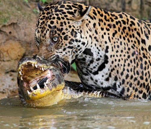 jaguar live fight with caiman