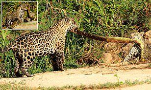 jaguar playing with anaconda