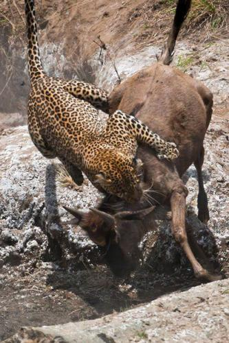 leopard attacking a big goat