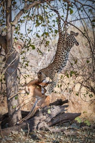 leopard jumping from tree to capture a deer