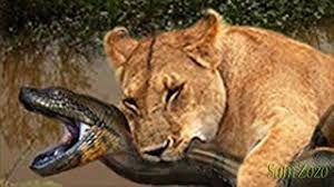 african lion vs black mamba